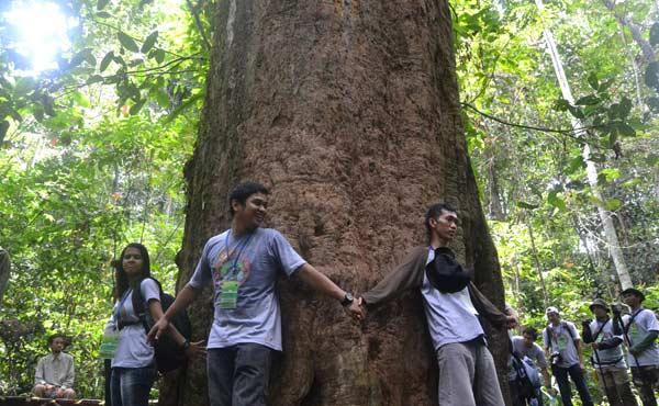 pohon ulin terbesar 2