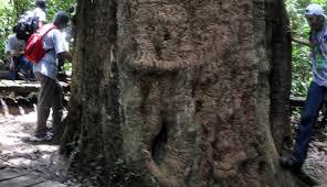 pohon ulin terbesar